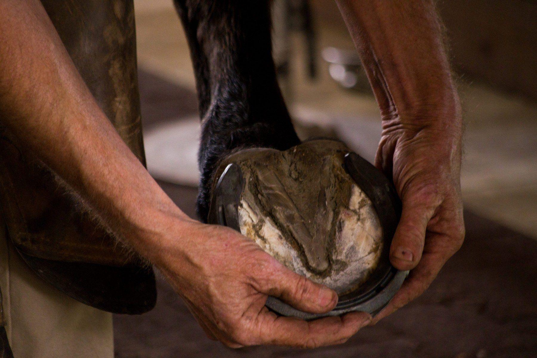 Farrier-Shoeing-Draft-Cross-Horse-scaled